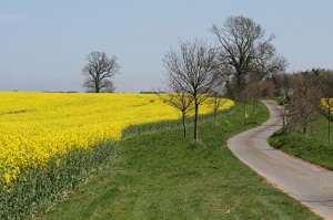 Windy country lane beside bright yellow flowers on Rape in field in Suffolk, England. Copyspace in centre foreground